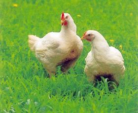 総州古白鶏